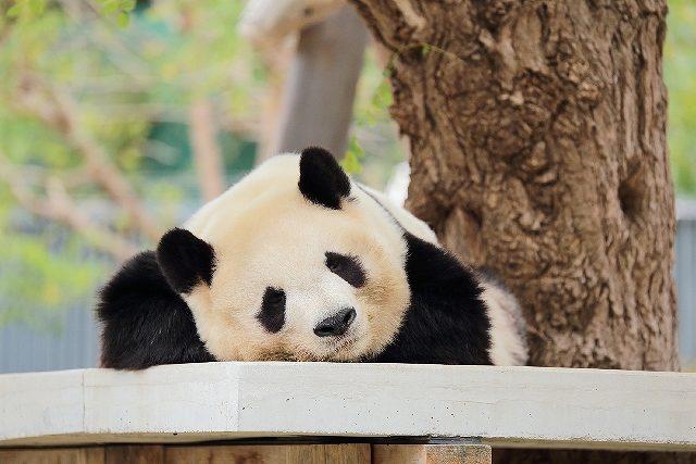 s-panda