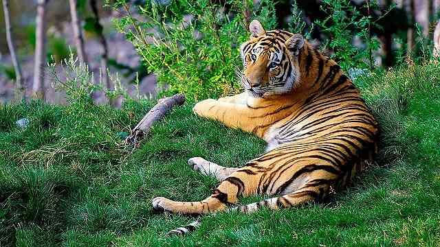 s-bengal-tiger-1