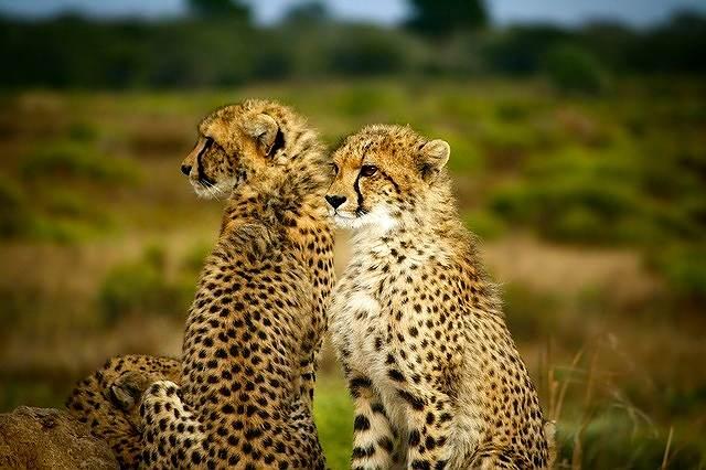 s-cheetahs-1900660_640
