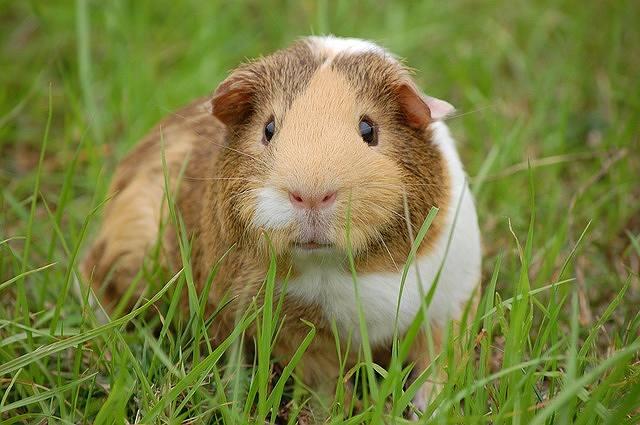 s-guinea-pig-242520_640