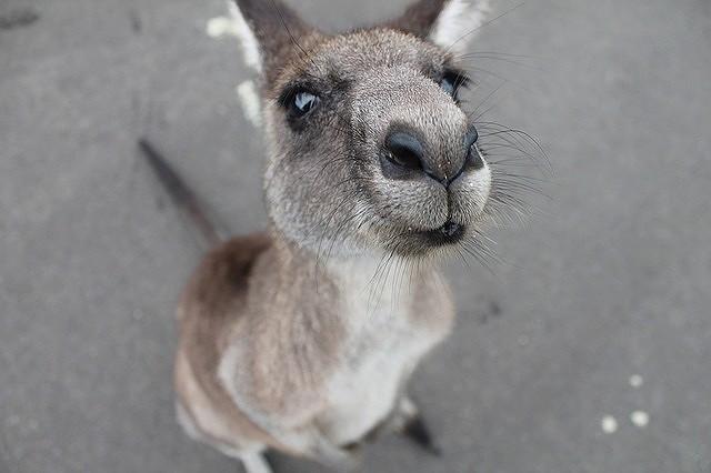 s-kangaroo-1