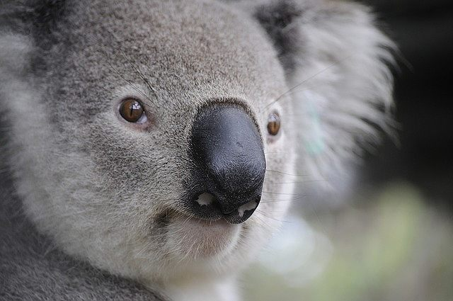 s-koala