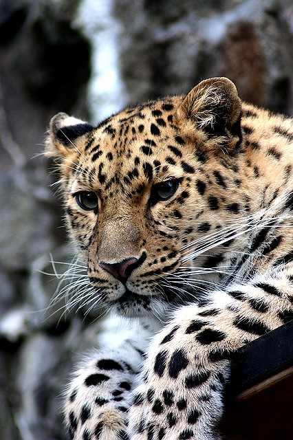 s-leopard-448901_640