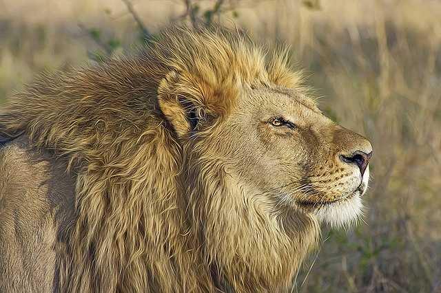s-lion-515028_640