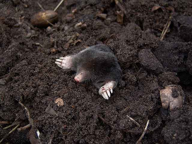 s-mole-13298_640