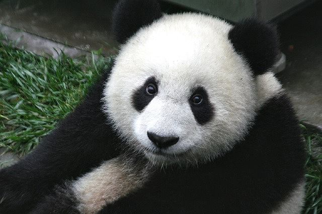 s-panda-3