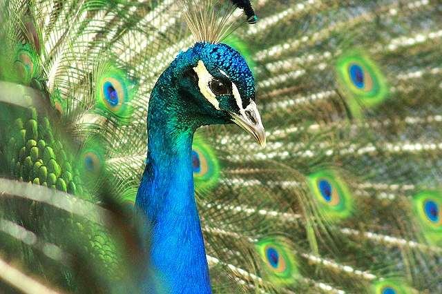 s-peacock-1