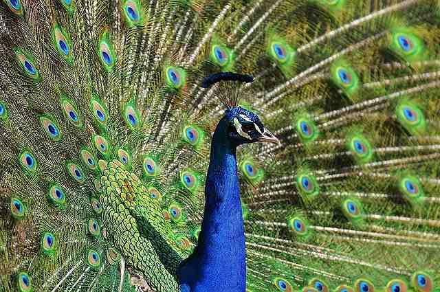 s-peacock-3