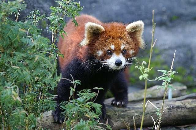 s-red-panda-1434921_640