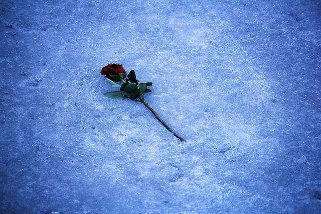 s-rose-1905249_640