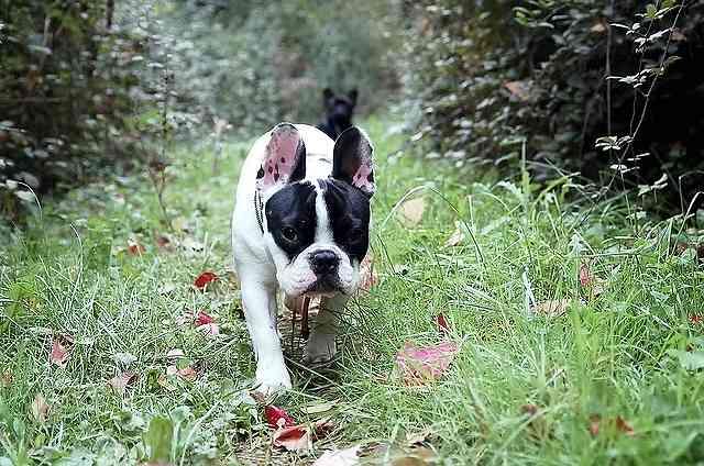 s-bulldog-144012_640