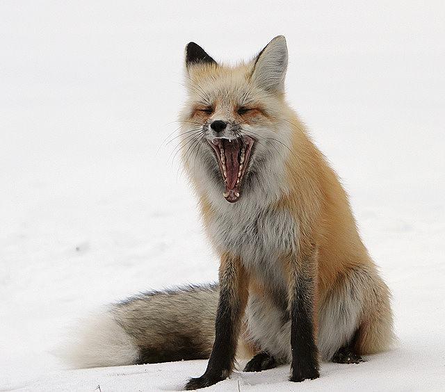 s-red-fox-1