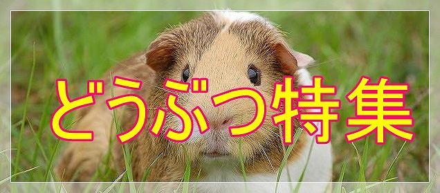 s-s-guinea-pig01