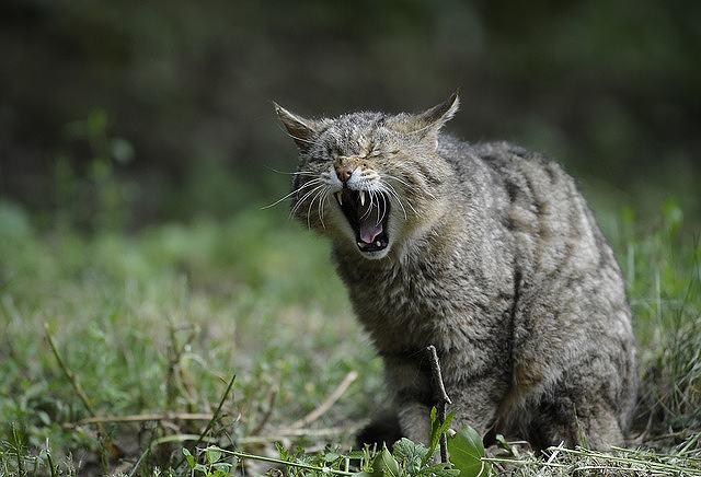 s-wildcat-3