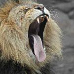 s-lion-12