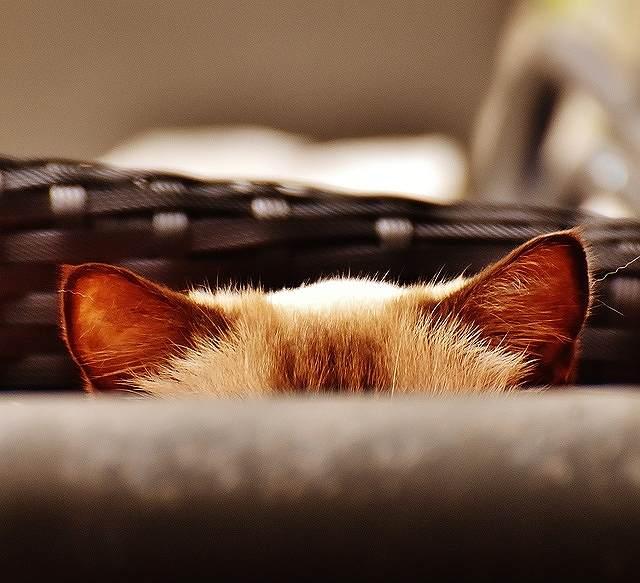 s-cat-ear