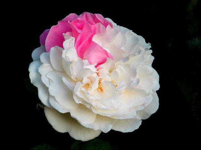 rose-369106_640
