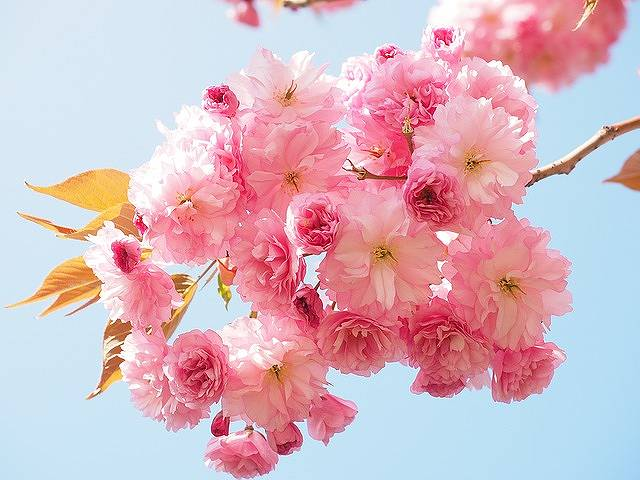 s-cherry-blossom-1260641_640