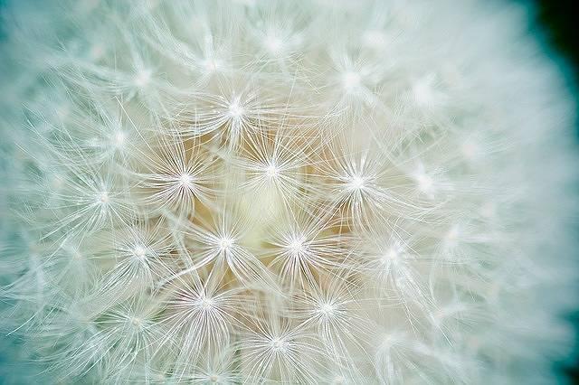 s-dandelion-1423174_640