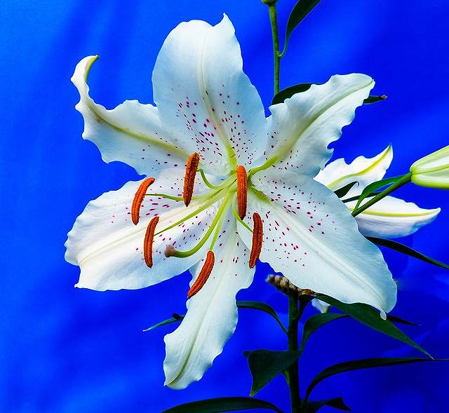 s-lily-227837_640
