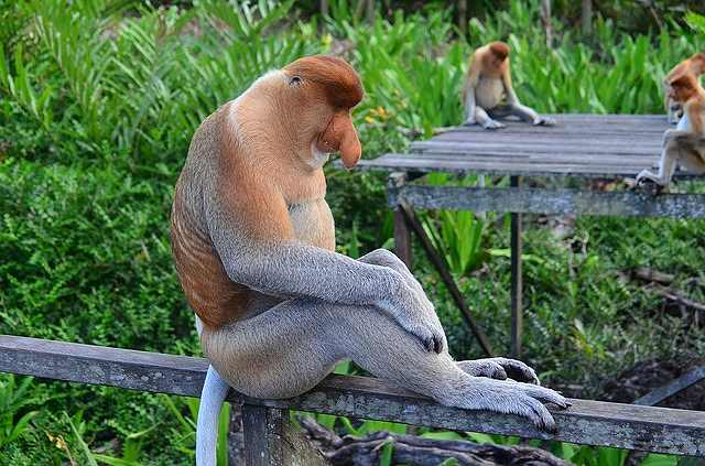 s-proboscis-monkey-212825_640