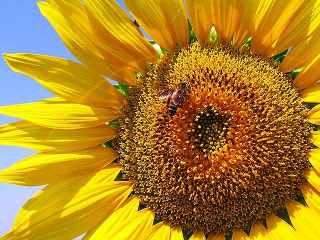 s-sunflower-268012_640