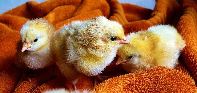 s-chicks-573377_640