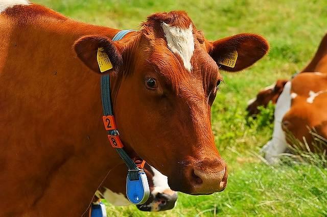 s-cow-1509258_640