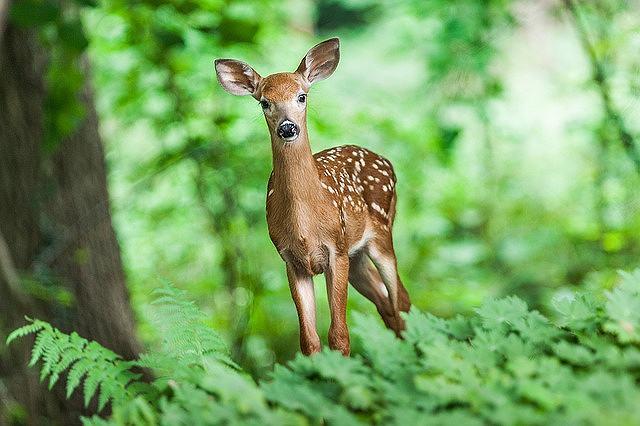 s-deer-1367217_640