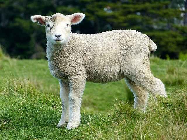 s-sheep-275928_640