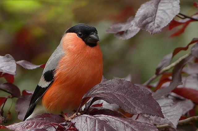 s-bullfinch-818188_640