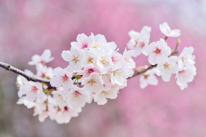 cherry-blossoms-2218781_1920