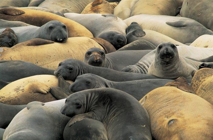 s-elephant-seals-1326966_1920