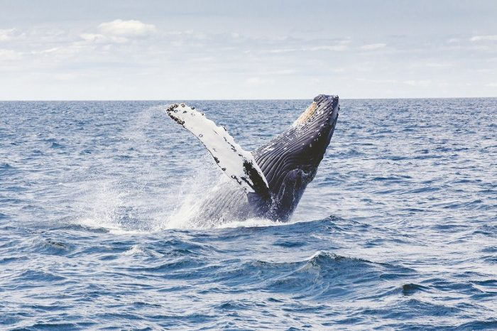 s-humpback-whale-1209297_1920
