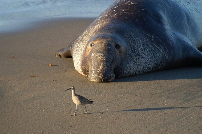 s-northern-elephant-seal-911602_1920