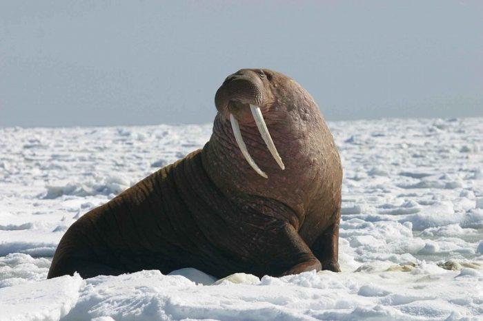 s-pacific-walrus-913796_1920