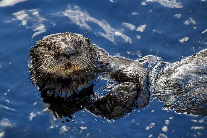 s-sea-otter-3194446_1920