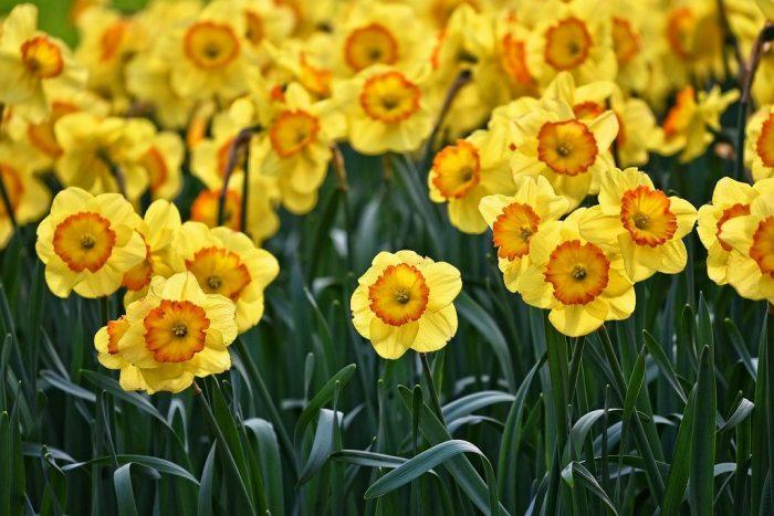 s-daffodil-3349706_1280