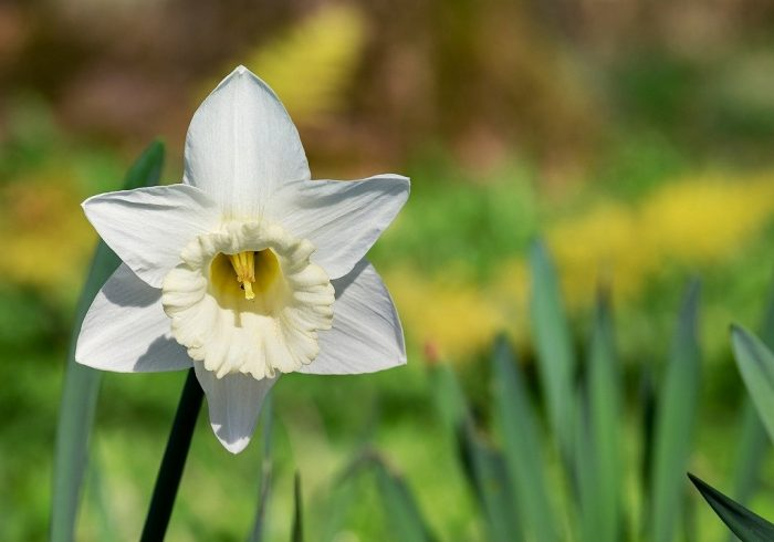 s-narcissus-3302791_1280