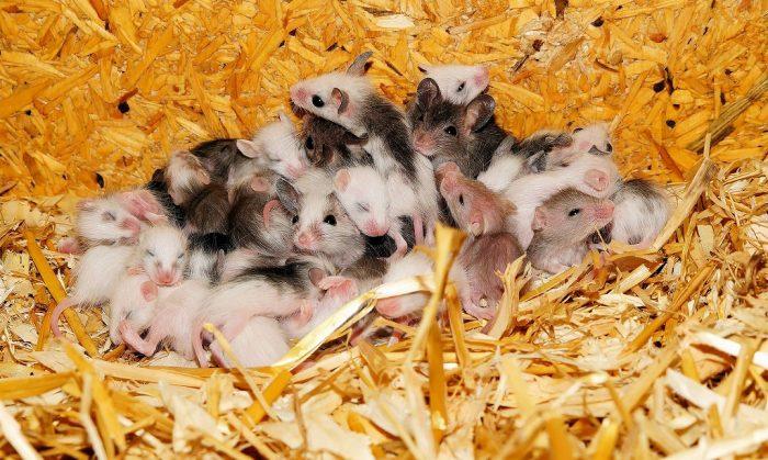 s-mice-395831_1920