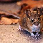 s-wood-mouse-2179253_1920