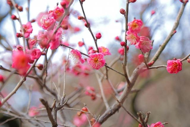 s-梅の花イメージ1